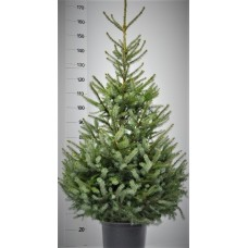 Picea Omorika - Gratis 1 sachet voeding